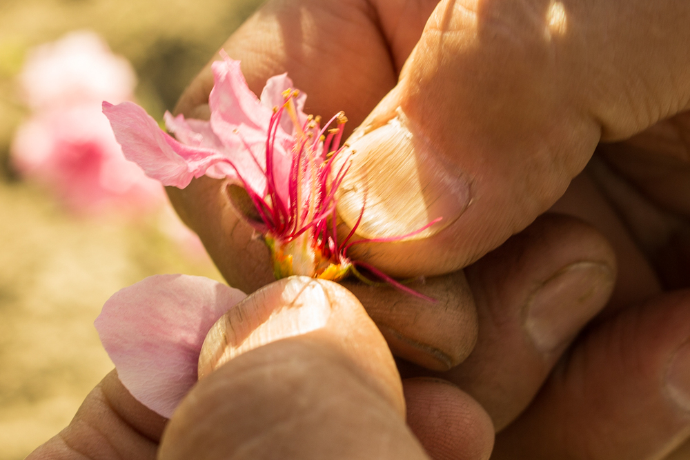 Mas peels away the petals to show the tiny white fuzzy orb that will grow into a peach