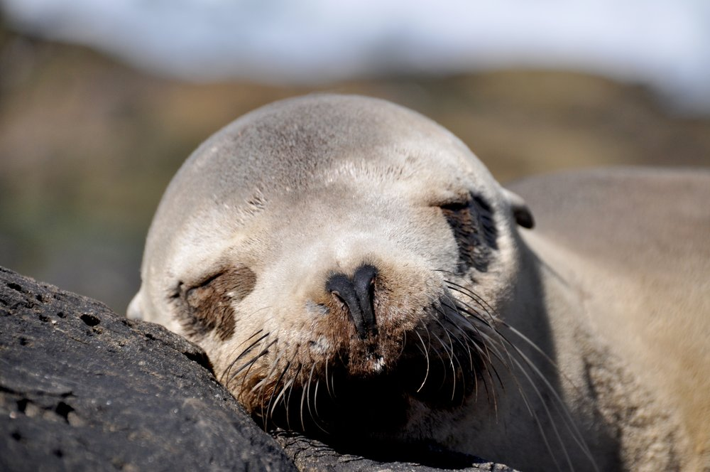 Sleeping Sea Lion T.JPG