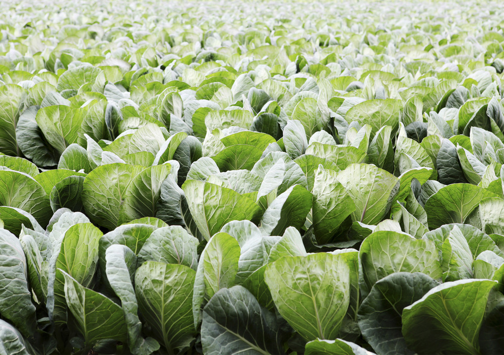 tgg-cabbage-field.jpg
