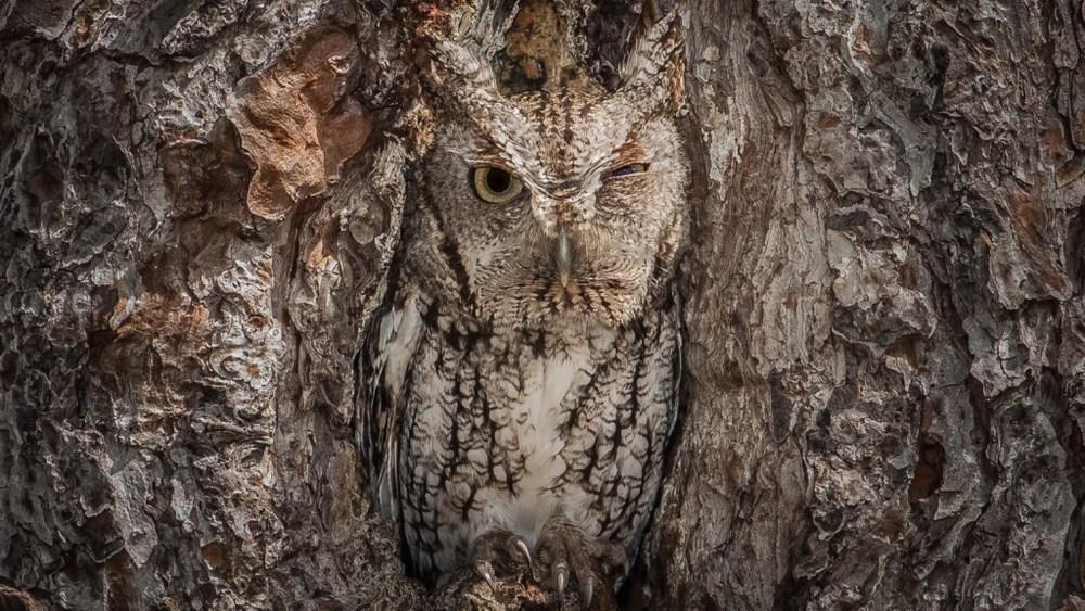 eastern-screech-owl-camouflage.jpg