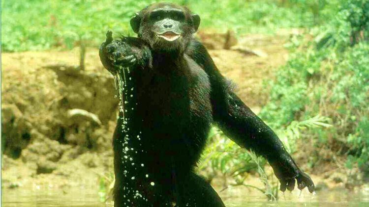 bonobo-monkey-mind-bomb-009.jpg