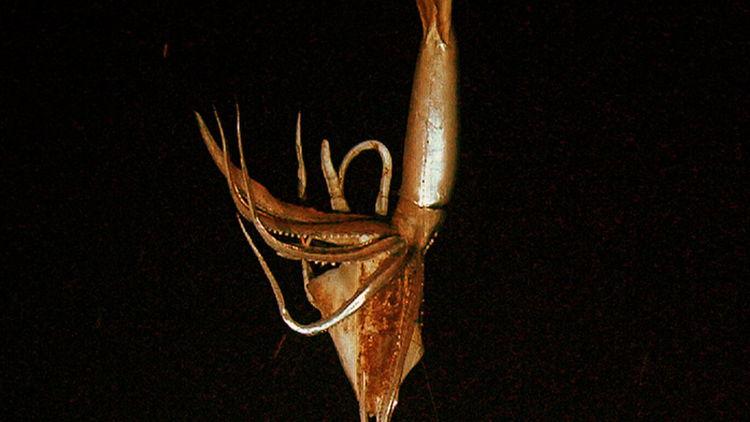giant-squid-mind-bomb-001.jpg