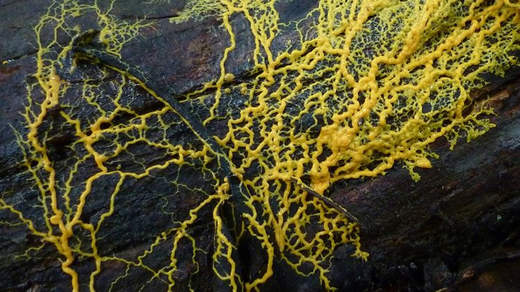 physarum-polycephalum-slime-mold.jpg