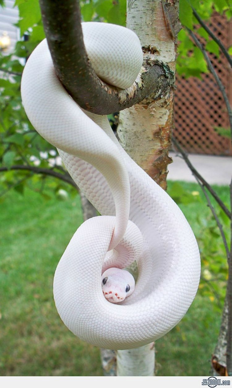 Albino Snake / Photo Credit: The Zoom