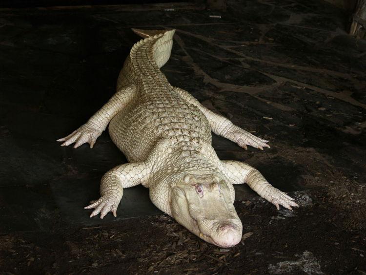 Albino Alligator/ Photo Credit:Manson Nieman