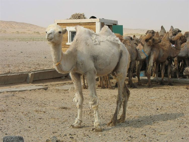 Albino Camel/ Photo Credit:emma_is_rad