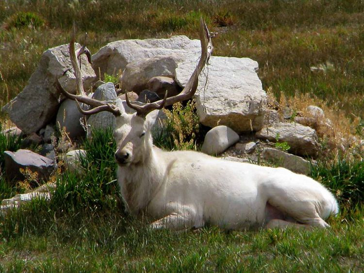 Albino Elk/ Photo Credit:mqcq777