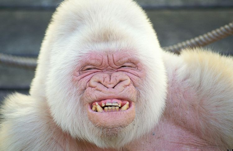 Albino Gorilla/ Photo Credit:Barcelona Zoo