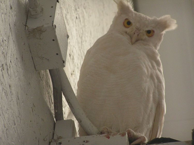 Albino Great Horned Owl/ Photo Credit:Jake Gross