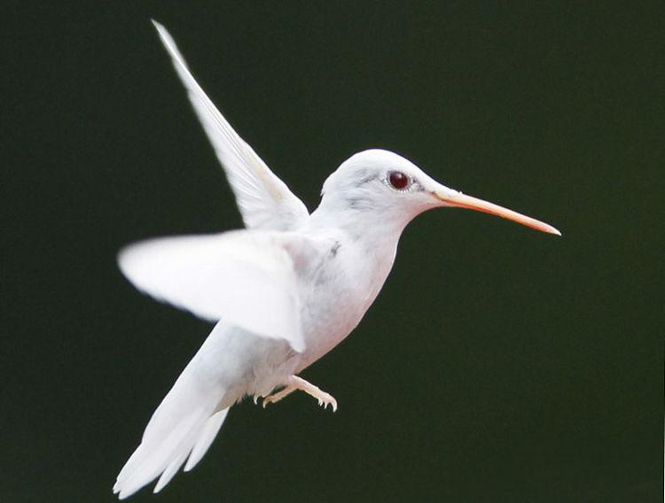 Albino Hummingbird/ Photo Credit:Marlin Shank, Shaphan Shank, Darren Shank, Allen Shank