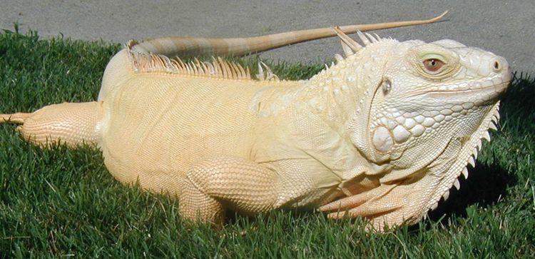 Albino Iguana/ Photo Credit:All-Iguana