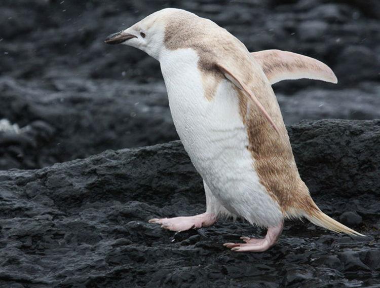 Albino Penguin/ Photo Credit:David Stephens
