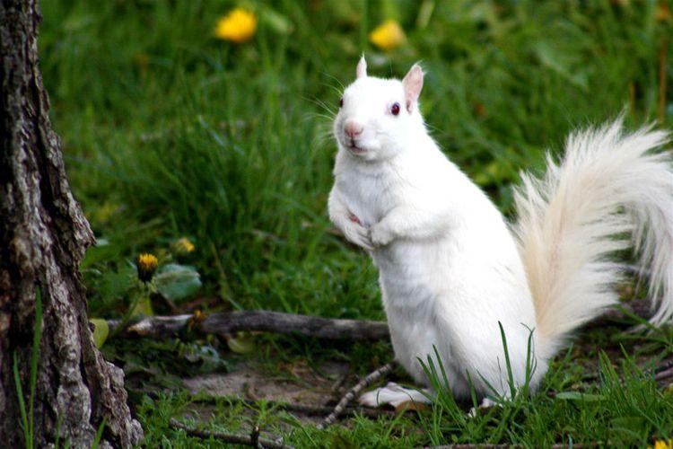 Albino Squirrel/ Photo Credit:ChelseaB23
