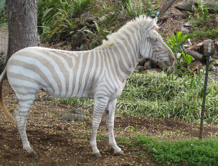 Albino Zebra/ Photo Credit:jschroe