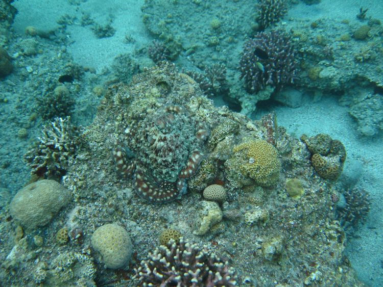 Carribean Reef Octopus Camouflage