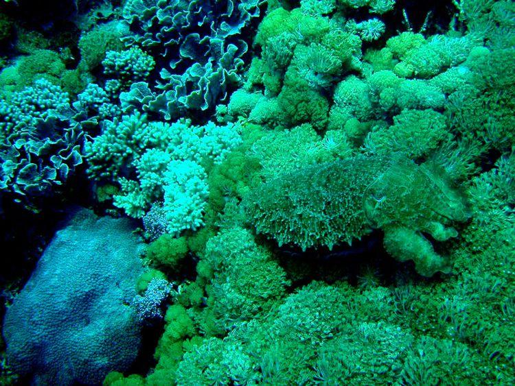 Cuttlefish Camouflage