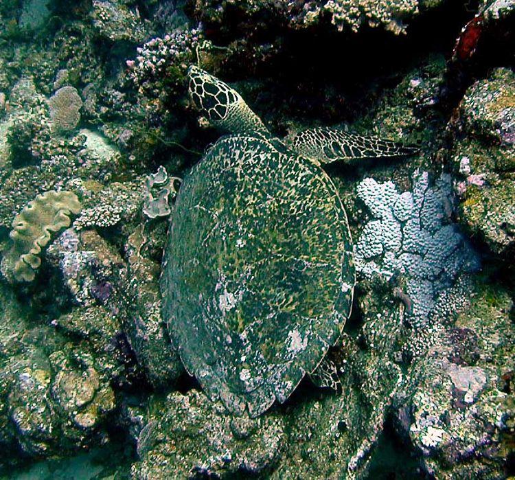 Hawksbill Sea Turtle Camouflage