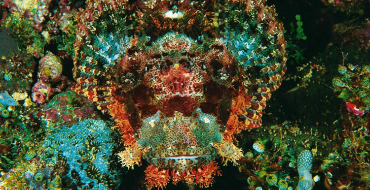 Papuan Scorpionfish Camouflage Colourful