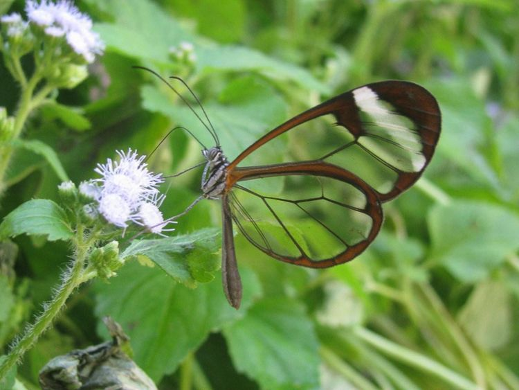 Glasswing Butterfly Camouflage