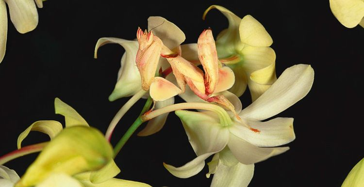 Orchid Mantis Camouflage