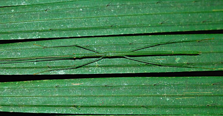Stick Insect Palm Tree Camouflage
