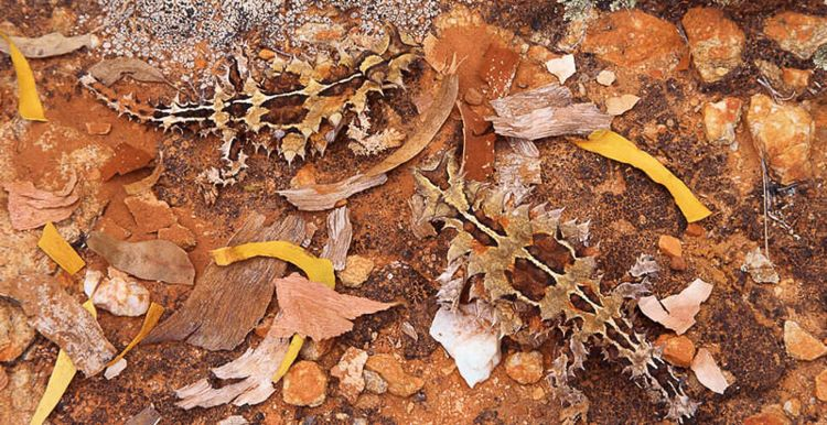 Thorny Devil Camouflage