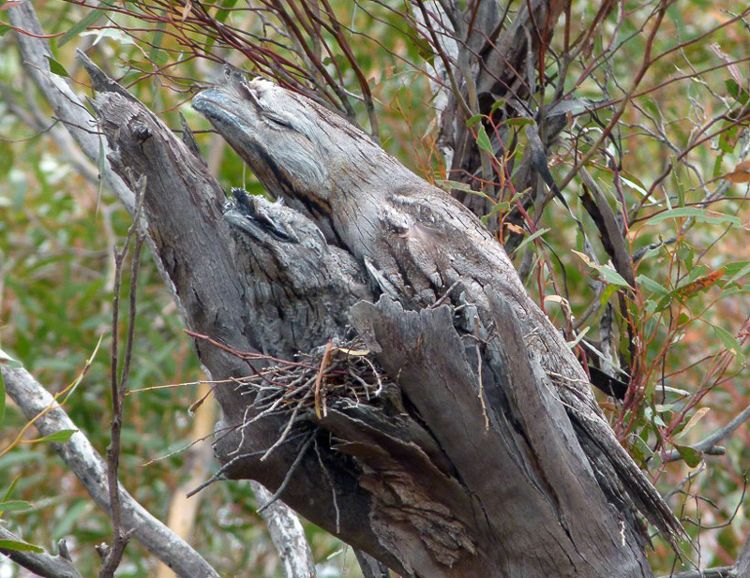 Tawny Frogmouth Camouflage