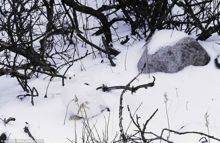 White Willow Ptarmigan Camouflage