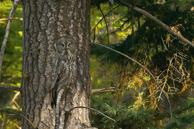 Great Gray Owl Camouflage