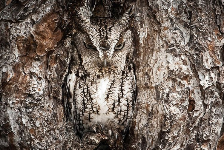 Eastern Screech Owl Camouflage