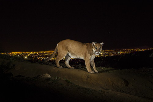 Cougar with nighttime city in background / Photo Credit: Steve Winter