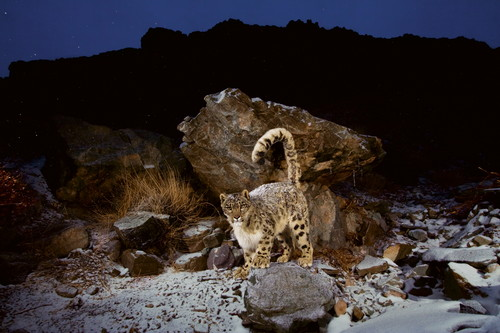 Snow leopard at night, Husing Valley / Photo Credit: Steve Winter