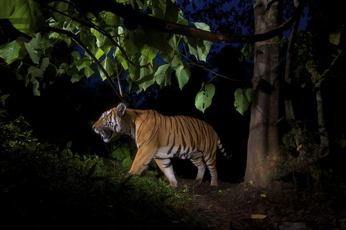 Tiger at night, India / Photo Credit: Steve Winter
