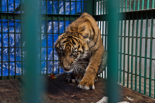Tiger cub in cage after surgery, Sumatra / Photo Credit: Steve Winter