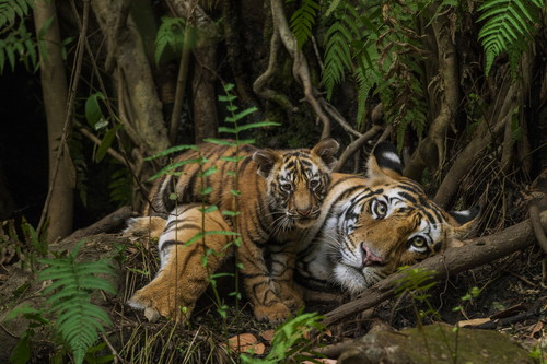 Tiger mother and cub / Photo Credit: Steve Winter