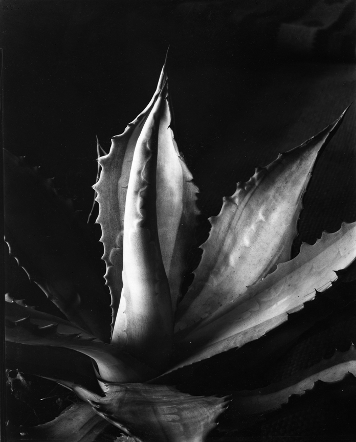 Original Cunningham Print     Agave, about 1930