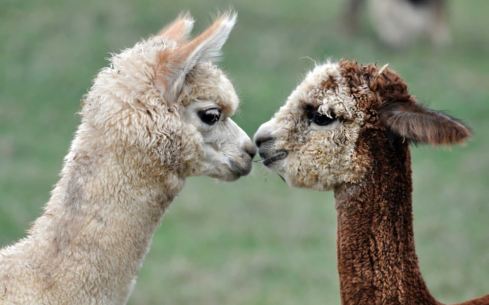 Alpaca wool is a sustainable alternative to cashmere. Photo courtesy of The Alpaca Group