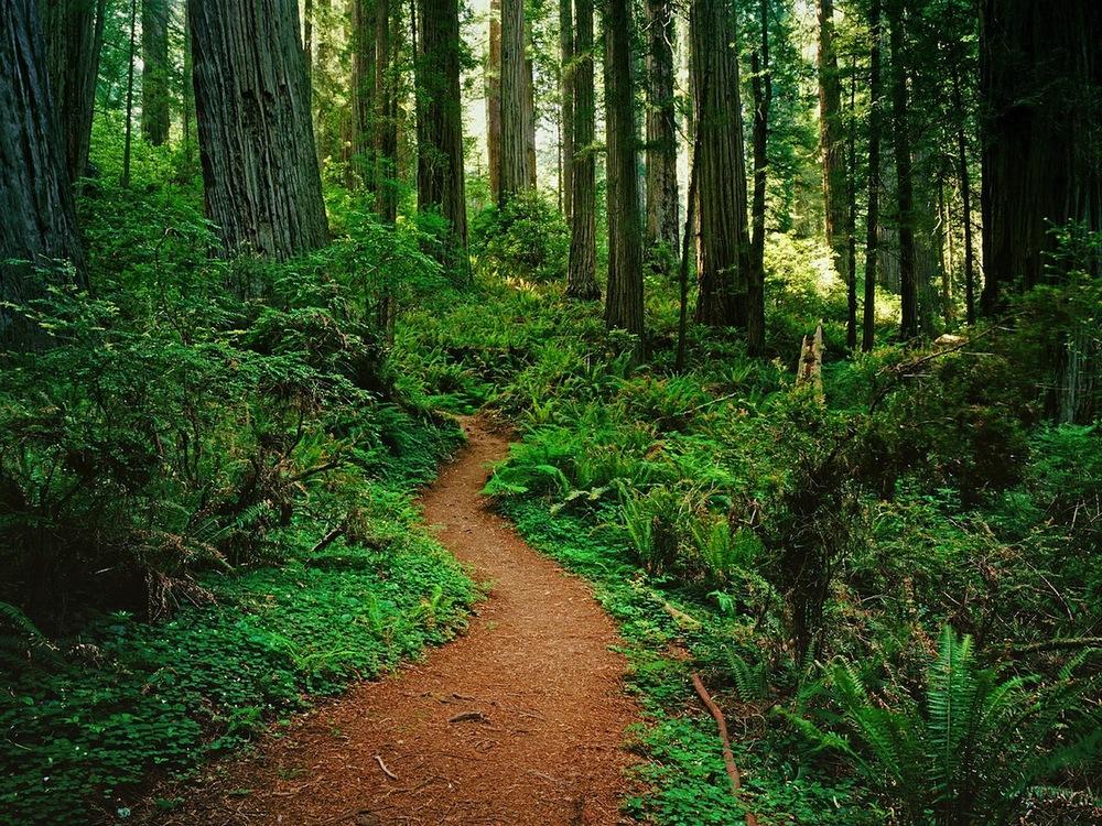 Redwood-Forest-Wallpaper-HD-.jpg