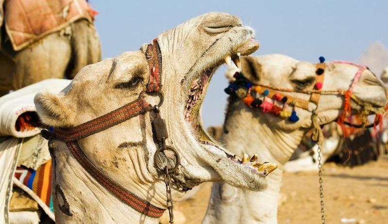 camel-mouth-teeth-mangrove-forest-dubai.jpg