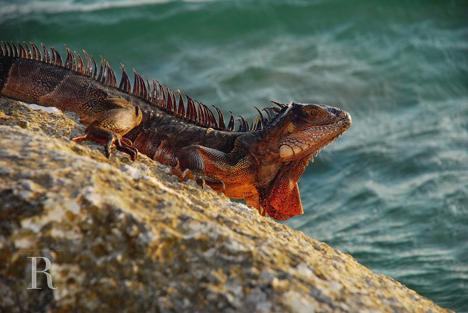 RYAN PARKER PHOTOGRAPHY_TRAVEL_FLORIDA KEYS_IGUANA-.jpg