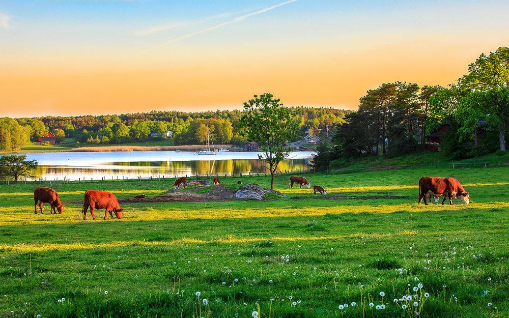 Kyrene er ute en maikveld og beiter på engen på Holte. Den idylliske Holtekilen I bakgrunn.