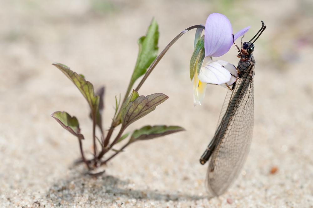 SNIKMORDER I PARADIS. Maurløven trives godt på Hvalers strender.De lever i hovedsak av maur, men tar også andre insekter. Måten de får tak i byttet er ganske spesiell. Larven graver en grop i sanden og gjemmer seg i en gang nederst i denne gropen. Veggene i gropen er såpass bratte at hvis et dyr (f.eks. en maur) sklir ned i gropen, har den problemer med å komme seg opp igjen. Maurløvelarven kan også kaste sand med hodet på byttedyret for å få denne til å miste fotfestet. Når byttet kommer nær nok maurløvelarven, griper den byttet med de enorme kjevene og drar det ned under sanden...