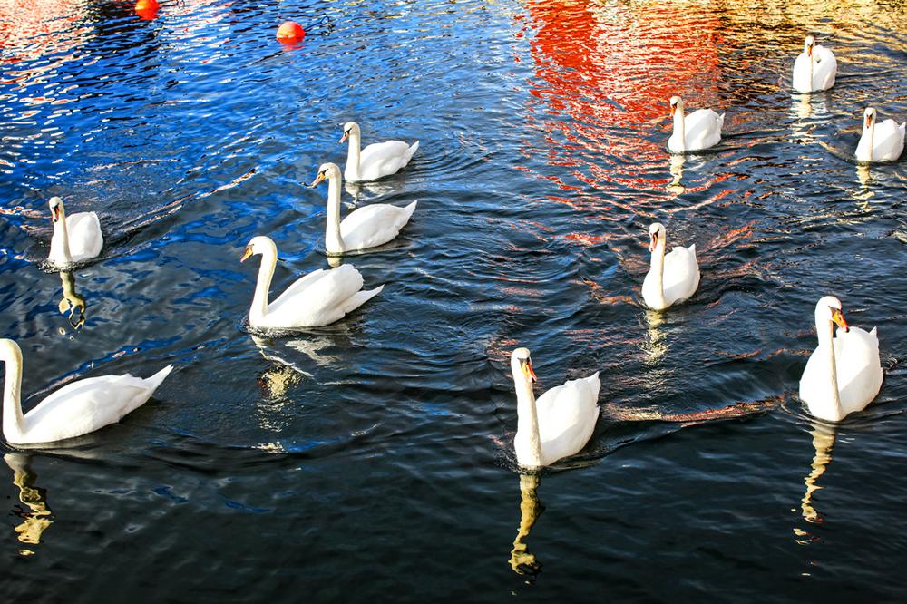 De stedstrofaste svanene på Skjærhalden liker også salte bad.