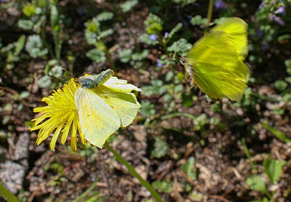 Asmaløy har Norges største registrerte antall sommerfuglarter.