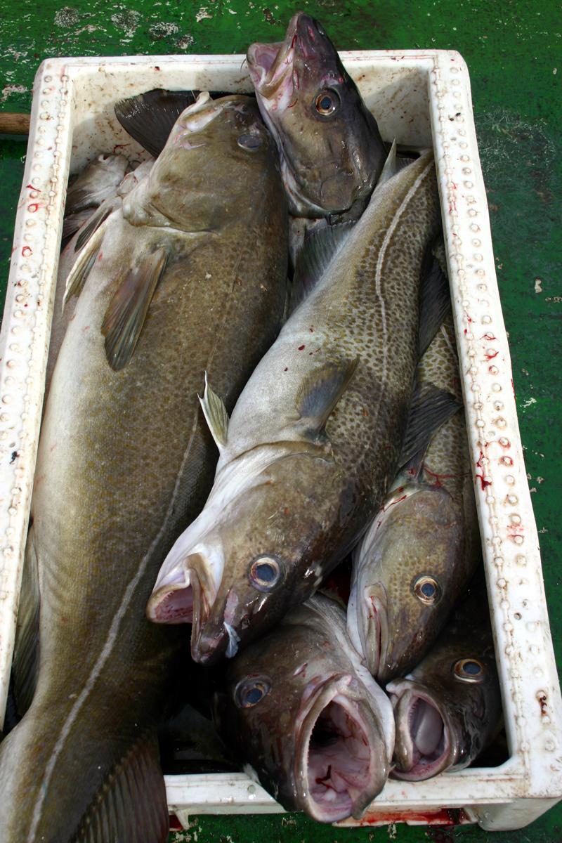 Fjordfisk-torskeslakt-web.jpg