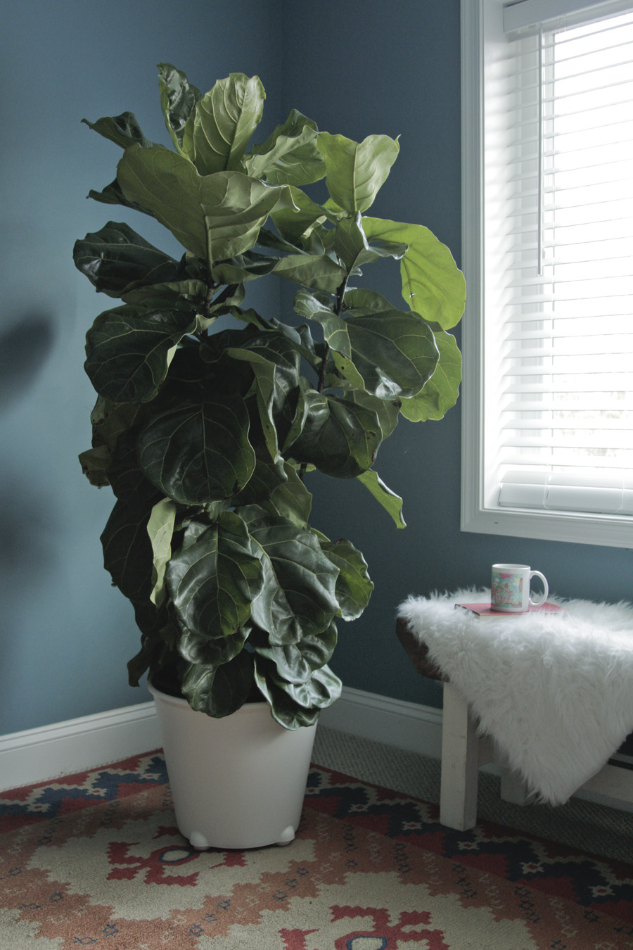 Fiddle leaf fig sunbathing in the guest room