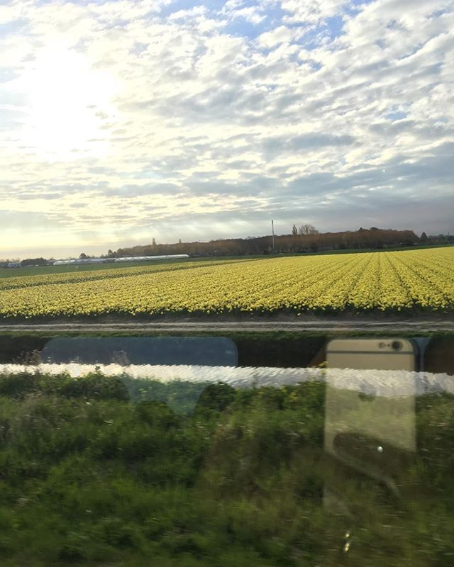 View from the train this morning. Dutch tulips.