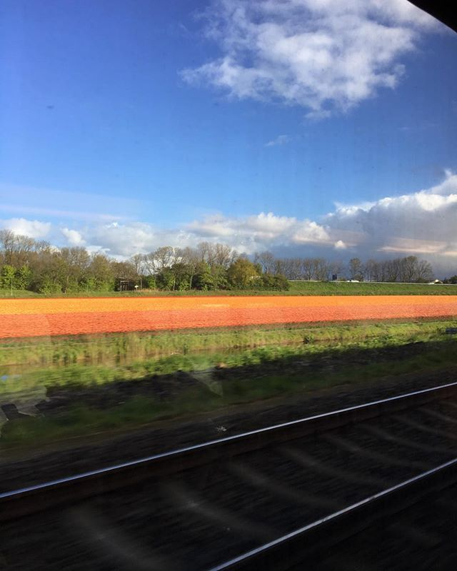 View from the train this morning. #tulips #holland
