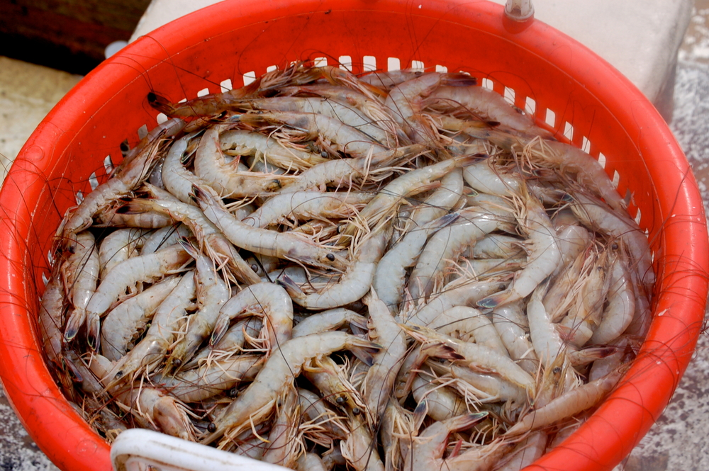 Freshly Caught Wild Georgia Shrimp