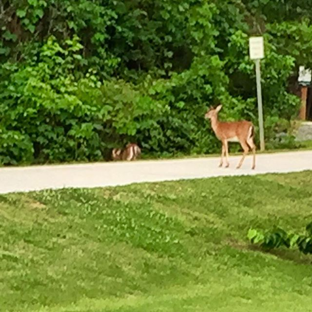 While Woodstock woke up today these two beauties were roaming the trail this morning! #greenprintstrailsystem #downtownwoodstock